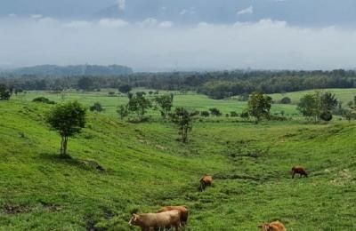 Peternakan Sapi RI Ini Bak Selandia Baru, dari Lokal hingga Limousin 'Berkeliaran'