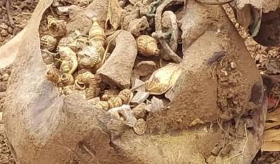 Lagi Gali Tanah, Pekerja Proyek Temukan Emas Ratusan Gram dalam Pot