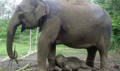 Duh, Gajah Sumatera di Bengkulu Kian Terdesak Akibat Pembalakan Liar