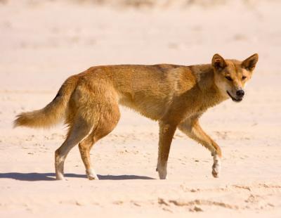 Asyik Main di Pantai, Seorang Balita Diserang Anjing Liar
