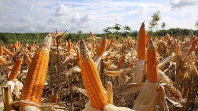 Intip Strategi Peningkatan Produksi Jagung di Indonesia, Harga Langsung Stabil?