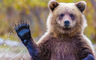 Seorang Wanita Tewas Dianiaya Beruang, Tubuhnya Ikut Dimakan