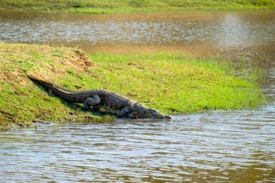 Lindungi Diri dari Musuh, Aligator Ternyata Bisa Memutus Ekornya
