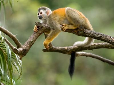 Kisah Pria Curi Monyet di Kebun Binatang untuk Hadiah Ultah ke Pacar