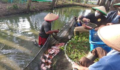 Panen Nila 4.000 Kg, Dompet Dhuafa Dorong Ketahanan Pangan Keluarga di Masa Pandemi