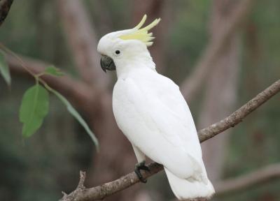 Setahun Dirawat, Puluhan Burung Kakatua Koki Dilepaskan ke Habitatnya di Maluku