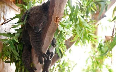 Australia Masukkan Koala dalam Daftar Spesies Terancam Punah dan Kelompok Rentan