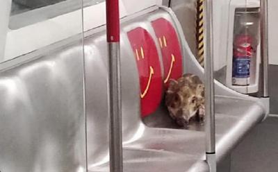 Viral! Anak Babi Tersesat Naik Kereta di Stasiun, Nyari Jalan Pulang?