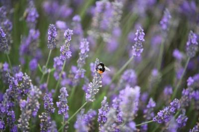 Asyiknya Piknik ke Taman Lavender, Hamparan Ungu Cantik Menyejukkan Mata
