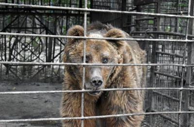 Menyedihkan! Beruang Buta Dikurung 30 Tahun dan Dibiarkan Kelaparan