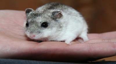 Ternak Hamster di Tengah Pandemi, Pemuda Ini Jadi Jutawan