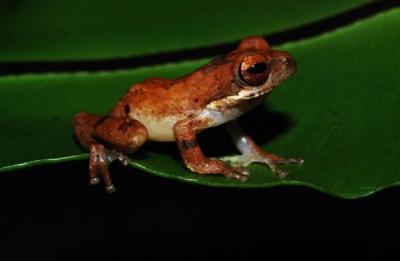 Katak Spesies Baru Ditemukan di Hutan Garut, Seperti Ini Wujudnya