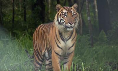 Sempat Terinfeksi Covid-19, 2 Harimau Sumatera di Ragunan Dinyatakan Telah Sehat