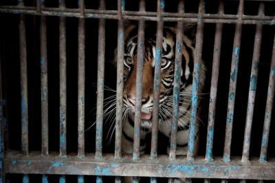 2 Harimau di Ragunan Terinfeksi Covid-19, Ini Penjelasan Pakar Kesehatan