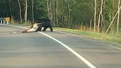 Beruang Menyeret Rusa di Jalan Terekam Kamera, Begini Penampakanya