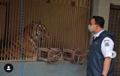 Begini Kondisi Terkini 2 Harimau Sumatera Terpapar Covid-19 di Ragunan