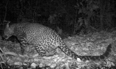 Heboh Macan Tutul Jawa Terekam Kamera, Penjaga Gunung Sanggabuana Terjawab Sudah