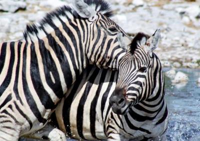Sepasang Zebra Berkeliaran di Jalan Raya Bikin Repot Polisi