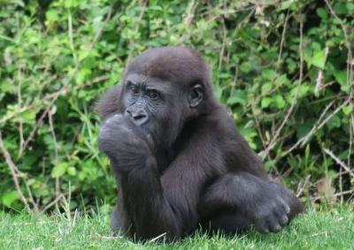 Viral Gorila Asyik Oral Seks di Kebun Binatang Bikin Pengunjung Terpana