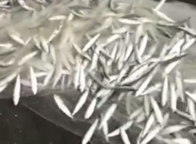 Viral Ribuan Ikan Berlompatan di Pantai Yogyakarta, Netizen: Gajian Sudah Dekat