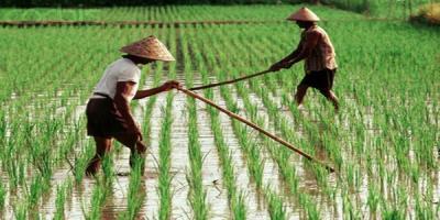 20 Hektare Lahan Food Estate Kalteng Siap Disetrum