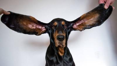 Pecahkan Rekor Guinness World, Anjing Ini Miliki Telinga Terpanjang di Dunia