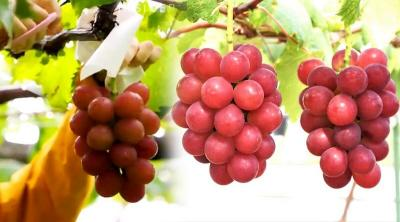 Ini Dia Buah Anggur Termahal di Dunia, Harga Seikatnya Capai Rp170 Juta!