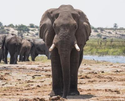 Tragis! Pria Berusia 71 Tahun Tewas Terinjak Gajah Disaksikan Anaknya