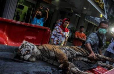 Kisah Harimau Sumatera Betina Terjerat Sling Baja, 5 Hari Tersiksa hingga Mati Dehidrasi
