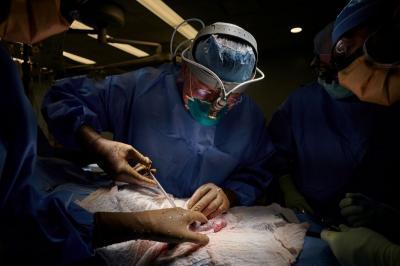 Pertama di Dunia, Ahli Bedah Amerika Ganti Ginjal Manusia dengan Babi