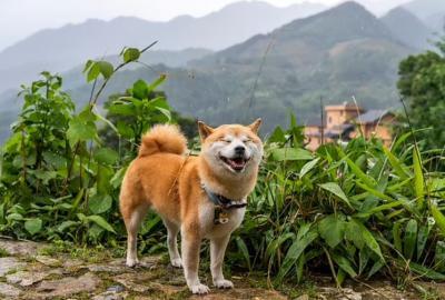 Wow! DNA Serigala Jepang yang Punah 115 Tahun Silam Ditemukan pada Tubuh Anjing Ini