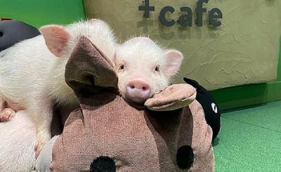 Ginjal Babi Cocok untuk Ditransplantasikan ke Manusia, Ini Alasannya