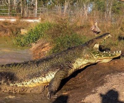 Viral Pria Ini Selamat dari Serangan Aligator Ganas, Reaksinya Tak Terduga