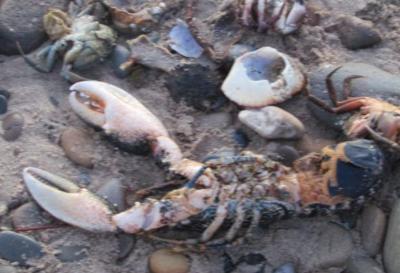 Ribuan Kepiting dan Lobster Terdampar di Pinggir Pantai, Fenomena Apa?