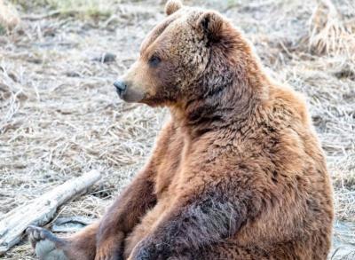 Pesepeda Panik Dikejar Beruang saat Gowes, Sempat Duel hingga Terluka