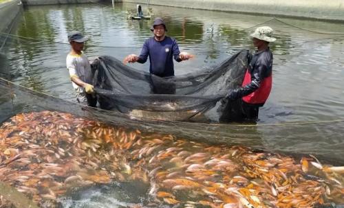 Bisnis Budidaya Ikan Nila, Polisi Raup Rp70 Juta